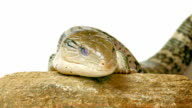 Eastern Blue-Tongued Lizard video