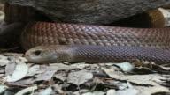 Eastern brown snake Australia video