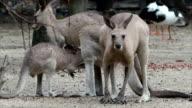 Eastern Grey Kangaraoo Family video