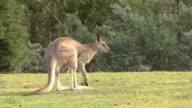 Eastern Grey Kangaroo, Male, Grazing, Grooming, Hopping video