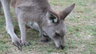 Eastern Grey Kangaroo video