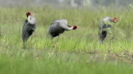 Eastern Sarus Crane (Grus antigone) video