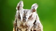 Eastern Screech Owl video