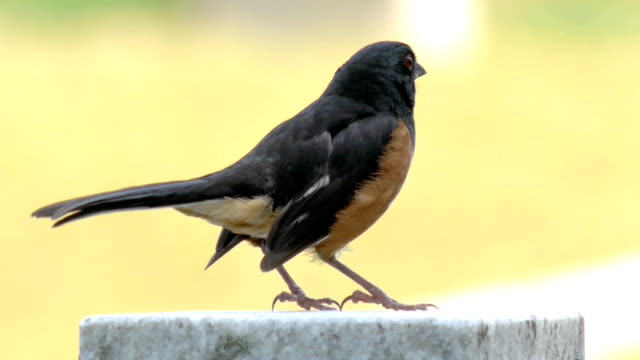 Eastern Towhee Bird In Richmond, Virginia, USA video