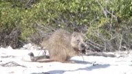 eating Nutria Otter sand land Cuba video video