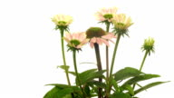 Echinacea Flower Time-lapse video