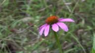 Echinacea Flower video
