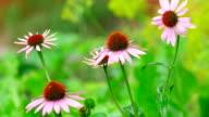 Echinacea flowers in rain video