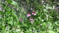 Echinacea Purpurea Pink Coneflower Daisies and Sprinkler video