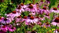 Echinacea purpurea, Purple coneflower, nice pink summer flower video