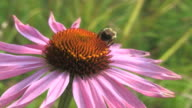 Echinacea with bumble bee video