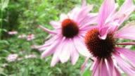 Echinaceas in the wind 1 video