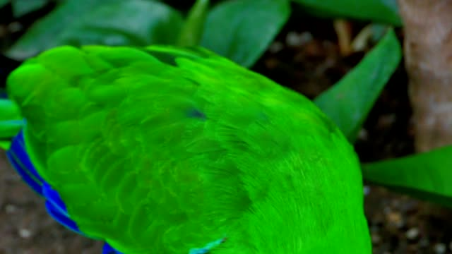 Eclectus Bird, Papua New Guinea video