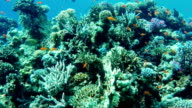 Ecosystem of a coral reef with a lot of fish Red Sea Anthias video