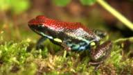 Ecuadorian poison frog (Ameerega bilingua) video