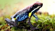 Ecuadorian poison frog (Ameerega bilinguis) video