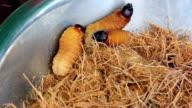 Edible palm weevil larvae (Rhynchophorus phoenicis) video