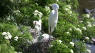 Egret Chicks In The Nest With Mom video