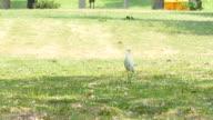 egrets find food video