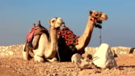 Egyptian camels video