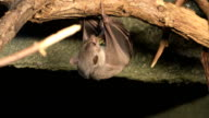 Egyptian Fruit Bat, Rousettus aegyptiacus eating video