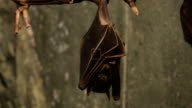 Egyptian Fruit Bat, Rousettus aegyptiacus roosting video