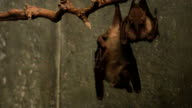 Egyptian Fruit Bat, Rousettus aegyptiacus video