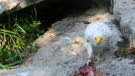 Egyptian Vulture Eating Meat video