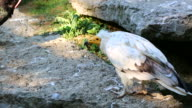 Egyptian Vulture Looking Around video