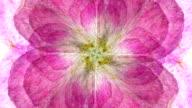 ROSE : eight petal (LOOP) video