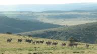 Eland Herd video