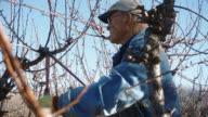Elderly White Farmer Man Prunes Fruit Tree video
