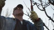 Elderly White Farmer Man Prunes Fruit Trees video