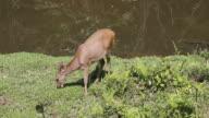 Eld's deer video