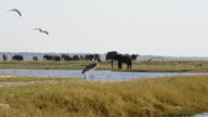Elephant and marabou stork in Chobe National Park video