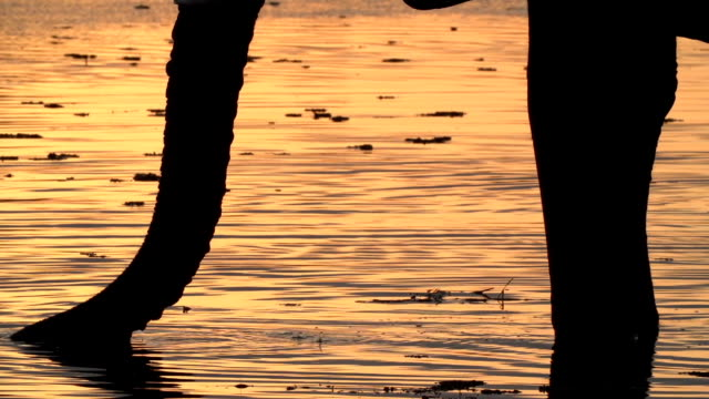 Elephant bull in silhouette drinking from river at sunset,Okavango Delta video
