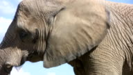 Elephant does slow dance. video