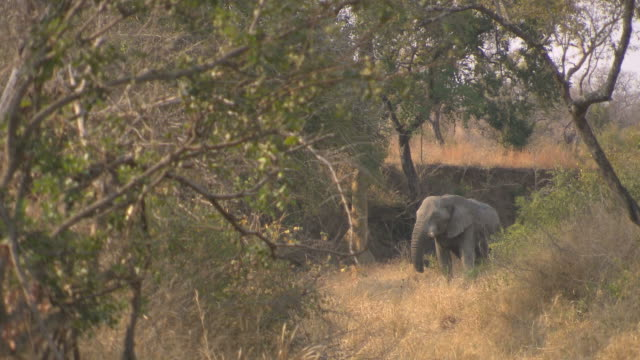 Elephant eating grass. HQ 4:2:2 video