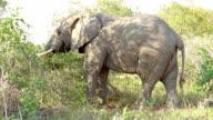 Elephant Eating Tree in Kruger Wildlife Reserve video