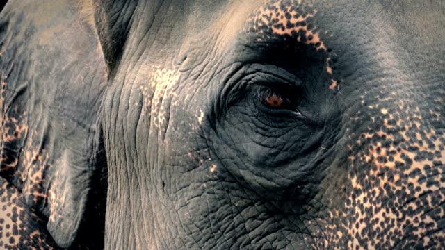 Elephant Eye Looking Around Closeup video