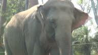 (HD1080i) Elephant Face in Hazy Sunshine video