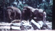 Elephant Feeding 1960's video