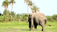 Elephant Grazing in Safari at Wild video