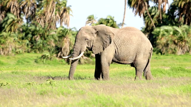 Elephant Grazing in Safari at Wild video