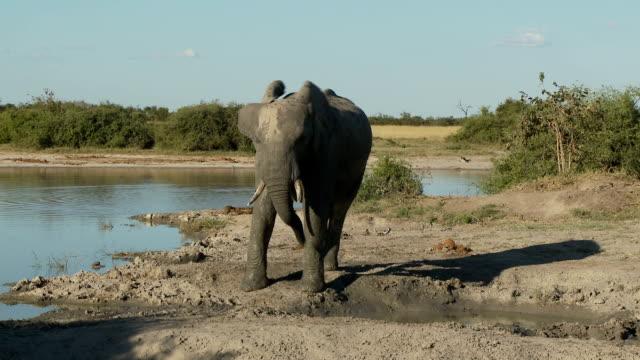 Elephant head tossing video