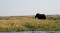 Elephant in Chobe National Park video