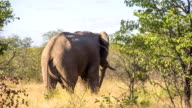 LS Elephant In Namibian Savannah video