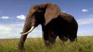 Elephant in Serengeti video