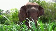 Elephant in Surin, Thailand video