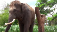 Elephant in Surin, Thailand video